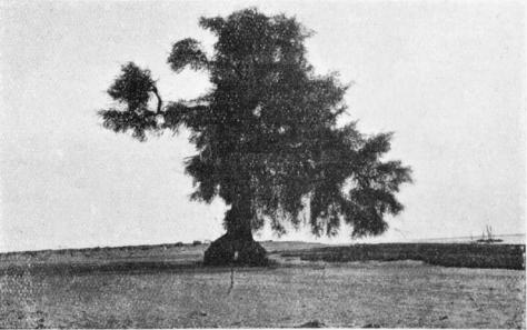Der Gordon Tree in der Nähe von Khartoum